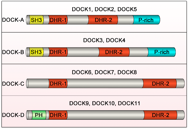 The domain structure of DOCK family proteins.